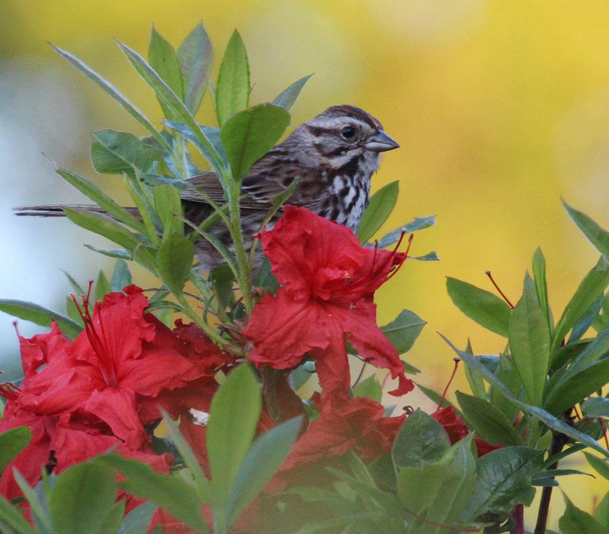 Tom Pfister Sparrow in Garden
