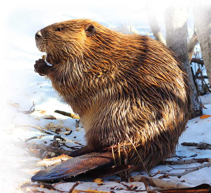 beaver in the winter