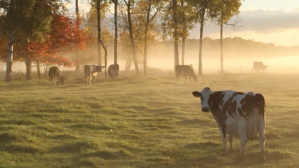 Cow Pasture in the Fog