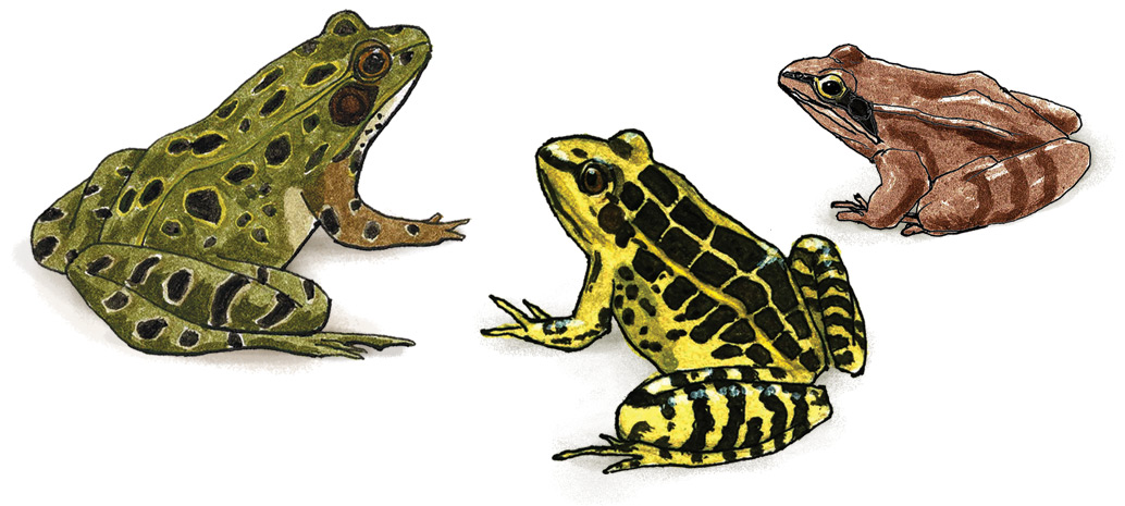 Northern-Leopard, Pickerel, and Wood frogs