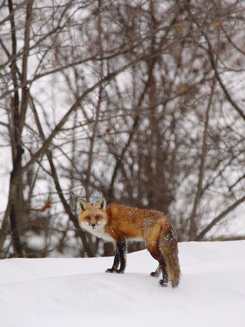 Red Fox Lowville