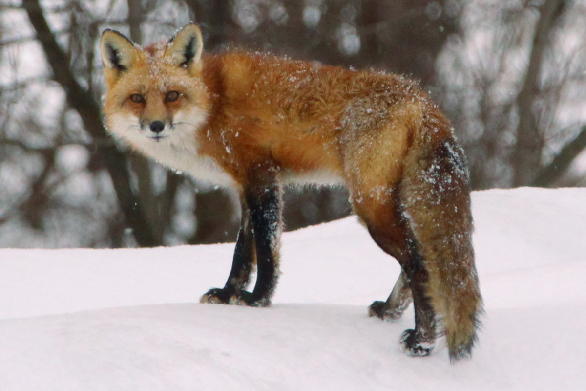 Red Fox, Lowville