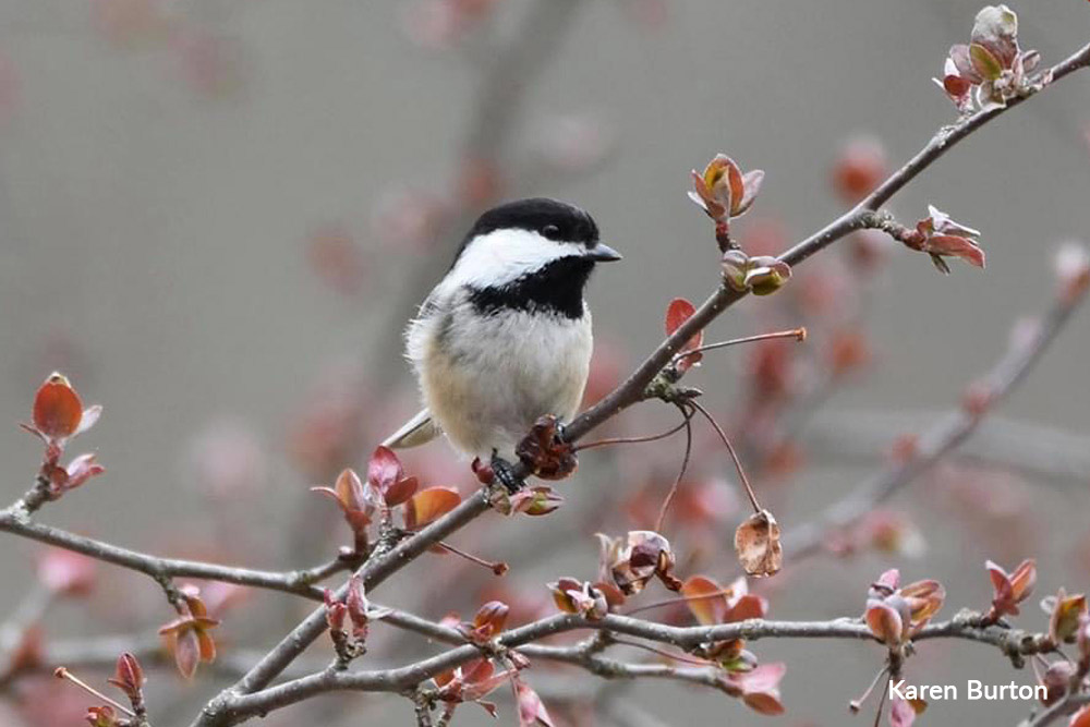 chickadee perched on a branch