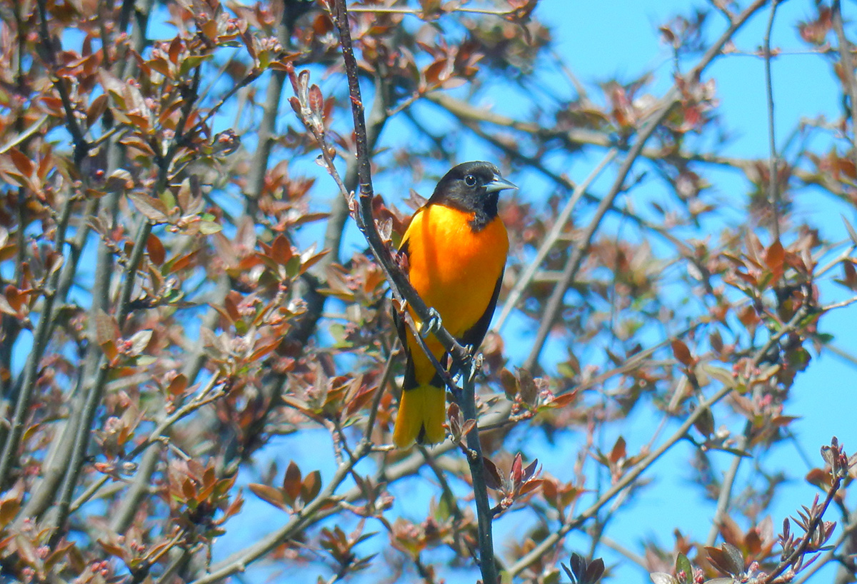 Baltimore Oriole in May