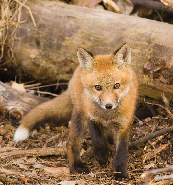 Red Fox kit, Mexico