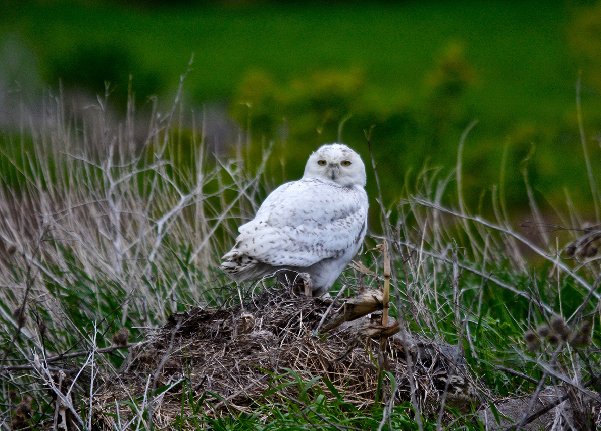 Snowy Owl Safari