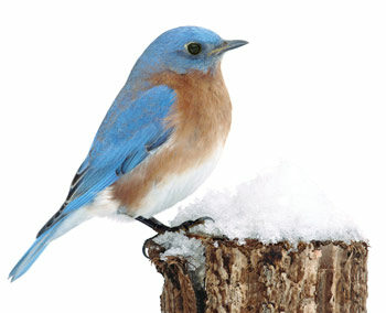 bluebird perched on post in winter