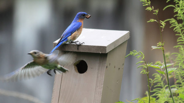 Bluebird in Annsville near Fish Creek