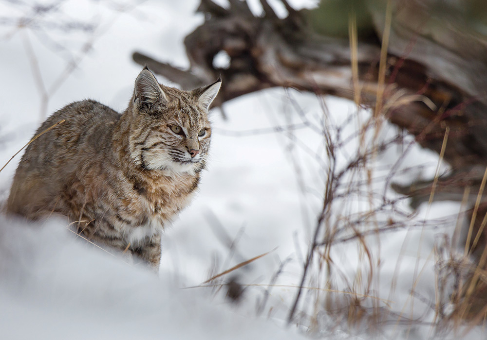 bobcat in a snowpile scouting for its next meal