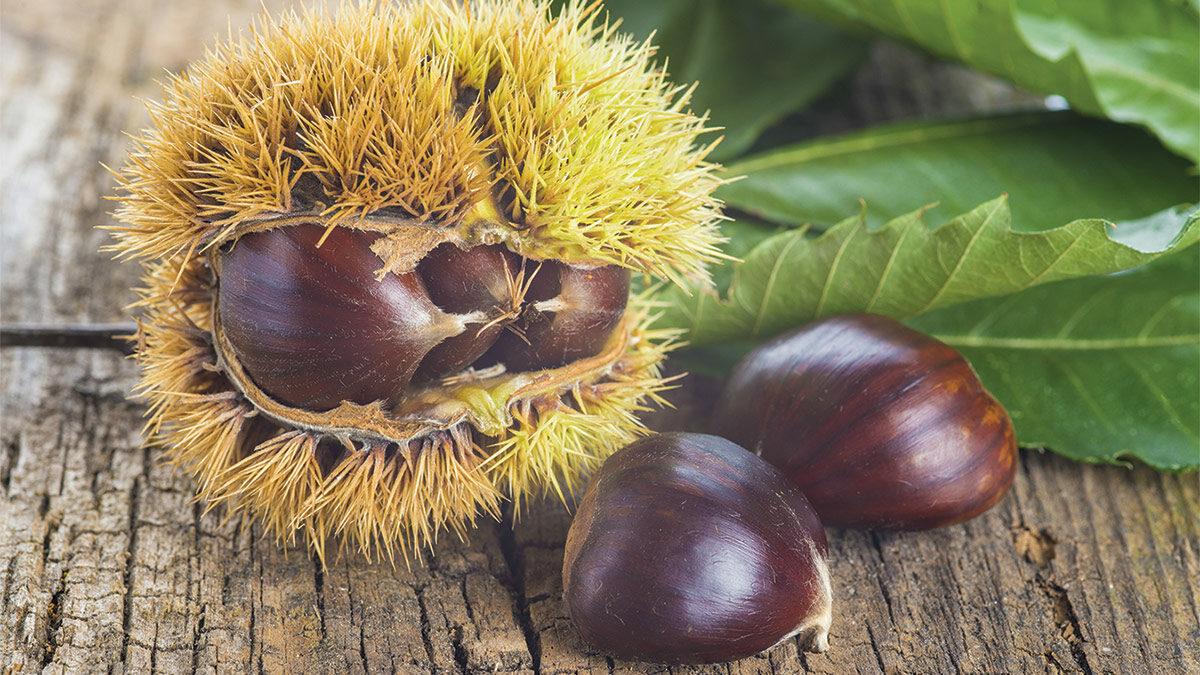 restoring the American chestnut