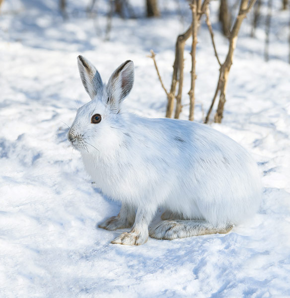 hare camouflaged by the snow