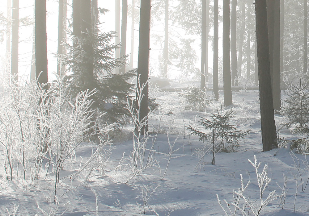 delicate snow dusted trees