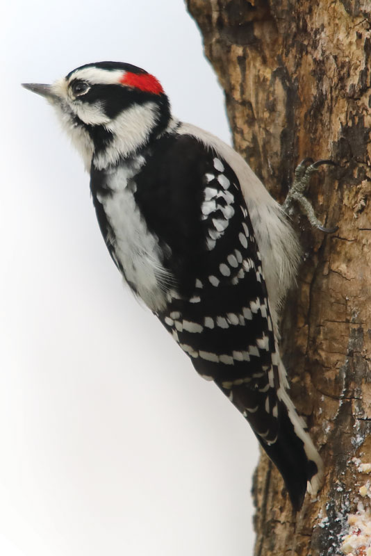 woodpecker